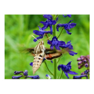 Hummingbird moth postcard