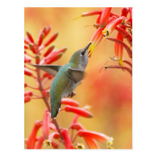Hummingbird surrounded by red yucca postcard