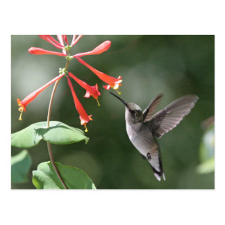 Hummingbird Treasures Postcard