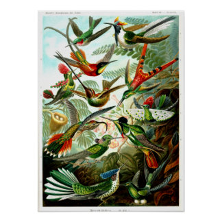 Hummingbirds 1904 by Ernst Haeckel. Poster