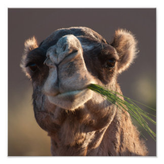 Hump Day Camel Feasting on Green Grass Art Photo