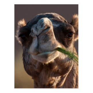 Hump Day Camel Feasting on Green Grass Postcard
