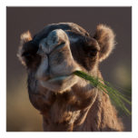 Hump Day Camel Feasting on Green Grass Poster