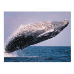 Humpback Whale Breaching Post Cards