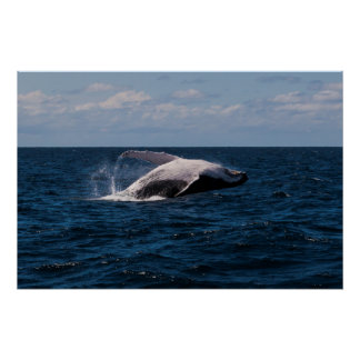 Humpback Whale breaching - poster