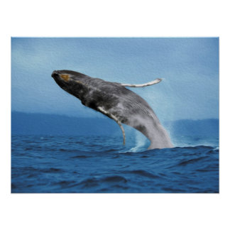 Humpback Whale Leaping Poster