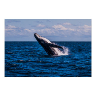 Humpback Whale Pacific Ocean Surfers Paradise Poster