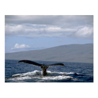 Humpback whale tail, Hawaii Postcard