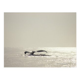 Humpback whale, tail over water surface postcard