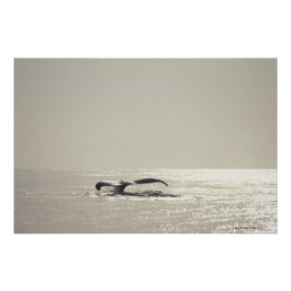 Humpback whale, tail over water surface poster