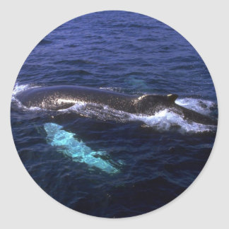 Humpback Whale visible beneath water Round Sticker