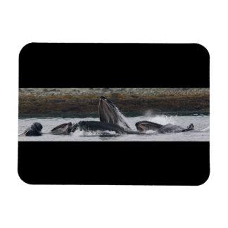 Humpback whales feeding magnet