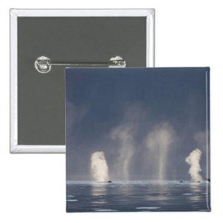 Humpback Whales Megaptera novaeangliae) Button