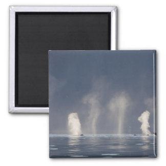 Humpback Whales Megaptera novaeangliae Magnets