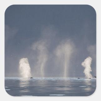 Humpback Whales Megaptera novaeangliae Stickers