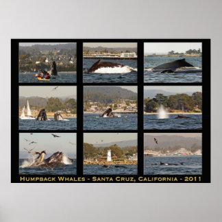 Humpback Whales Santa Cruz Poster