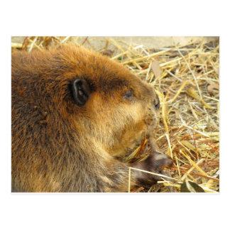 Hungry Beaver Postcard