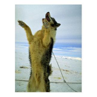 Hungry sled dog postcard