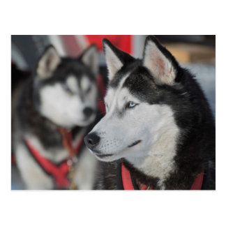 Husky dog before a race, Canada Postcard