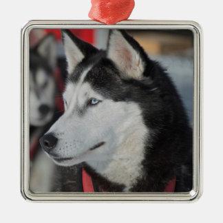 Husky dog before a race, Canada Silver-Colored Square Ornament