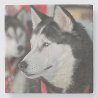 Husky dog before a race, Canada Stone Coaster