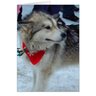 Husky Sled Dog Card