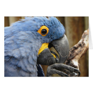 Hyacinth Macaw Parrot Card