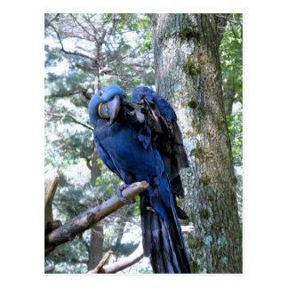 Hyacinth Macaw Postcard