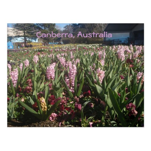 Hyacinths in Canberra, Australia Post Card
