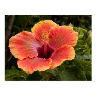Hybrid Hibiscus Postcard