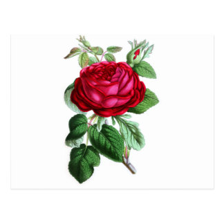 Hybrid Perpetual Rose, Lord Napier Postcard