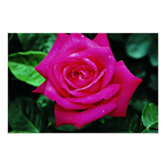 Hybrid Tea Rose 'Miss All-American Beauty' White f Poster