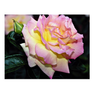 Hybrid Tea Rose 'Peace' White flowers Postcard