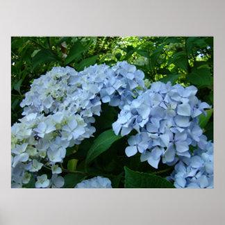 Hydrangea Flower Garden art prints Blue Hydrangeas Poster