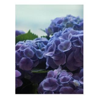 Hydrangea Postcard