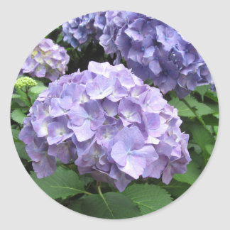 Hydrangeas at Trebah Gardens, Cornwall Classic Round Sticker