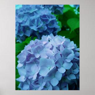 Hydrangeas {Blue}   Poster