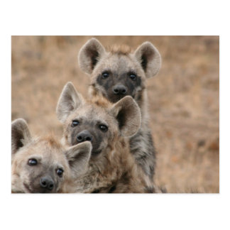 Hyenas Postcard