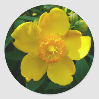 Hypericum Hidcote (St. John's Wort) Classic Round Sticker