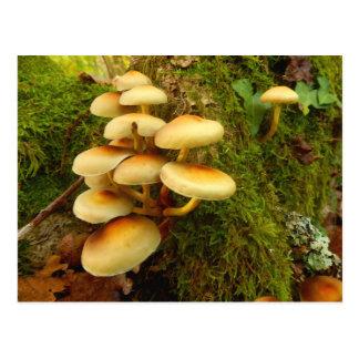Hypholoma fasciculare Mushroom Postcard