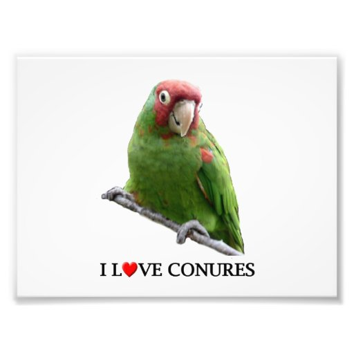 "I ""Heart"" Conures Photographic Print"