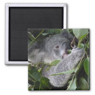 I love koalas magnet