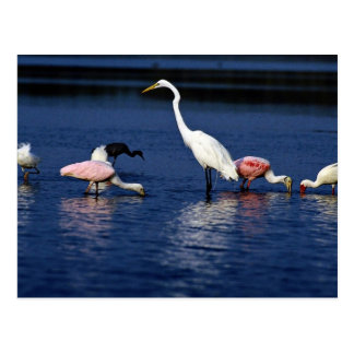 Ibis, spoonbills, great egret, blue heron and snow postcard