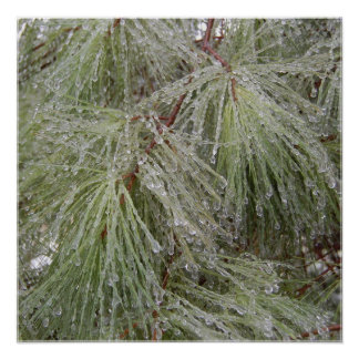 Ice Covered Pine Poster
