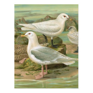 Iceland and Ivory Gull Vintage Bird Illustration Postcard