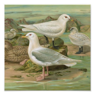 Iceland and Ivory Gull Vintage Bird Illustration Poster