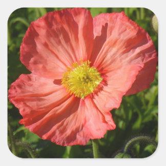 Iceland Poppy Square Sticker