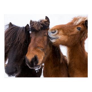 Icelandic Horse friends, Iceland Postcard