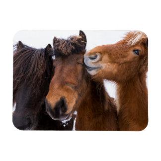 Icelandic Horse friends, Iceland Rectangular Photo Magnet