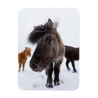 Icelandic Horse portrait, Iceland Rectangular Photo Magnet